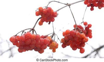 Ripe red arrowwood or viburnum berries in winter - Ripe red...