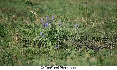 Beautiful sage and chicory flowers in green field in summer...