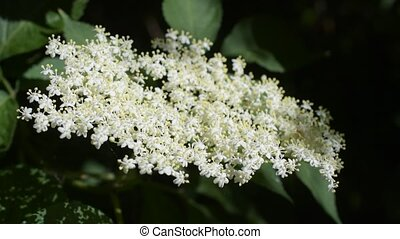 European black elder blooming with white flowers. - Sambucus...