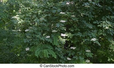 European black elder shrub blooming with white flowers. -...