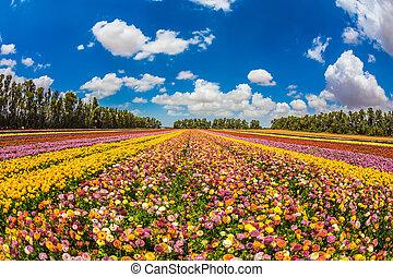 Farm field of beautiful flowers garden buttercups. Walk on a...