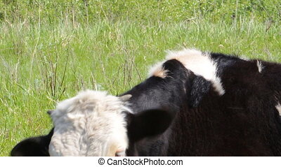 Cow Chewing on green grass - Chewing cows and wagging their...