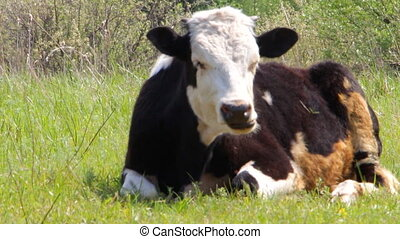The cow lies on the green grass 1