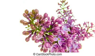 Time-lapse of purple lilacs blooming on white background 4k