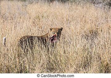 大, 有斑點, 豹,  African