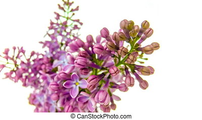 Time-lapse of purple lilacs blooming on white background 4k...