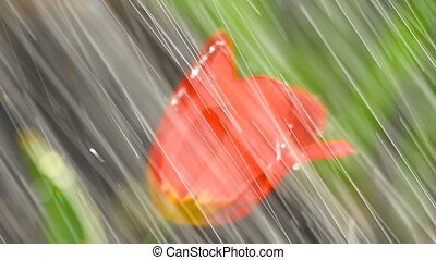 Red tulip flower under irrgation stream - Drops on the...
