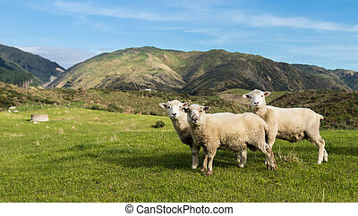 Three New Zealand Sheep - Three New Zealand sheep on some...