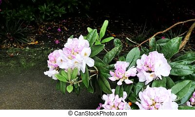 A bush with rhododendron flowers. Color correction. - A bush...