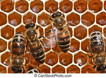 Dancing bees - Rapid movements on the comb and the flapping...