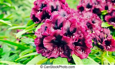 A large purple rhododendron closeup..Color correction