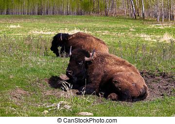 A bison sitting in a wallow pit.