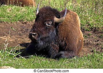 Closeup of a bison resting.