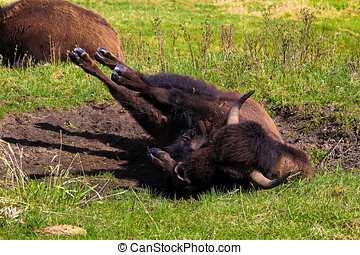 A bison rolling in a wallowing pit.