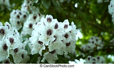 Beautiful white rhododendron flower on a green background.....
