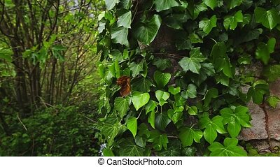 Stones overgrown with ivy. Texture of wild plants in the...