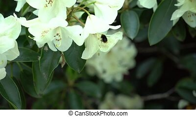 Bee on a white rhododendron.. Color correction.