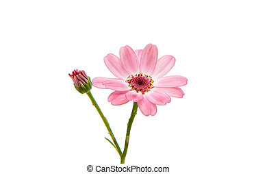 cineraria isolated on white background
