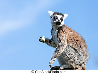 Ring-tailed lemur. - Ring-tailed lemur (Lemur catta) sitting...