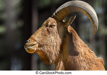 animal head of a mountain goat with large horns - Image of...
