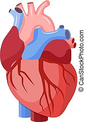 Anatomical heart isolated. Muscular organ in humans. Heart...