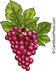Red grape vector sketch isolated fruit berry - Red grape...