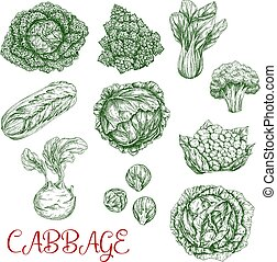 Cabbage vector sketch icons of vegetables - Cabbage...