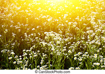 Spring field with wild flowers at sunrise.