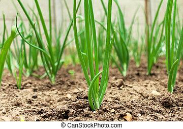 Green onions in vegetable garden in summer.
