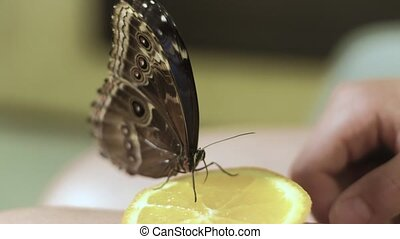 Butterfly eating an orange with a proboscis 4k - Butterfly...
