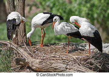 nido, Cigüeñas, Construye, familia, pájaro