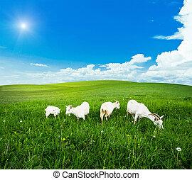 牧場, 草, 綠色, 山羊, 草地