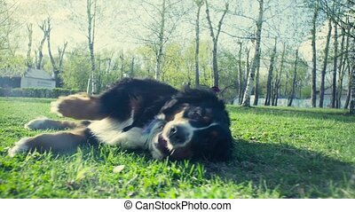 Dog on the grass in the spring park - Dog wallowing on the...
