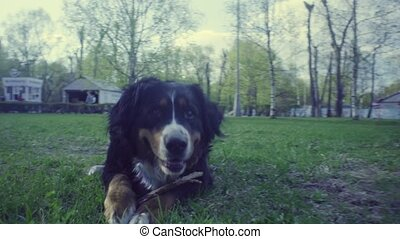 A dog with a stick in the spring park on the grass