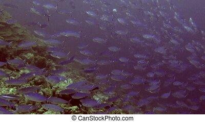 School of striped fish underwater in sea of Maldives.