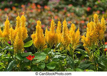 Plumed cockscomb blossom or Celosia argentea in beautiful...