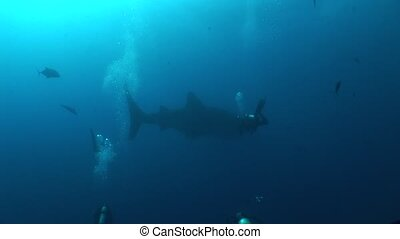 Big Whale Shark biggest fish in the world Underwater Video -...