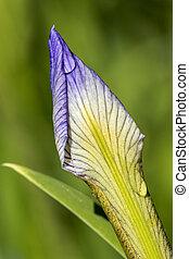 Dewdrops on a Blueflag Iris flower bud - Dewdrops on a Blue...