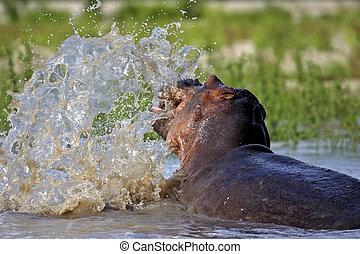 Rufiji River Hippo making big splash - Hippo splashing with...