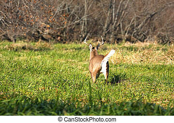 White-tailed Deer Buck running in marsh grass tail up