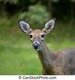 whitetail doe - female whitetail deer on a grassy background...