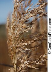 rye ear - ear, plant, cereal, agriculture, crop, nature,...