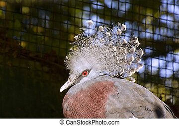 Beautiful close up portrait of Victoria crowned pigeon