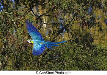 Beautiful image of green winged macaw in full flight with...