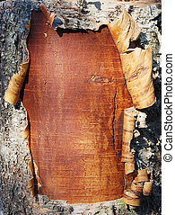 bark of a birch tree - closeup of the bark of a birch tree