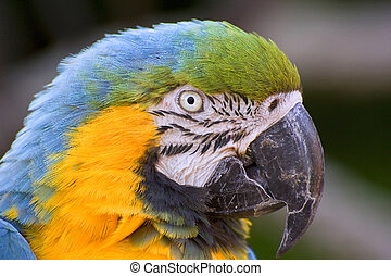 Stunning close up portrait of green winged macaw