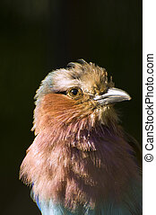Beautiful close up portrait of lilac breasted roller