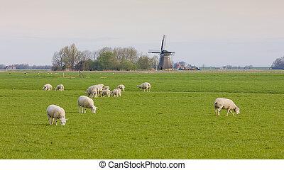 windmill and sheep, Netherlands - windmill and sheep near...