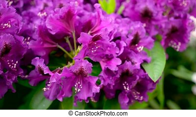 Purple rhododendron flowers in the garden.. Color correction