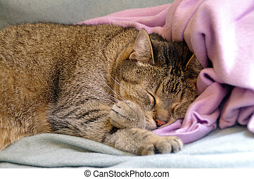 Cat sleeping on coverlet - Gold gray cat sleeping on pink...